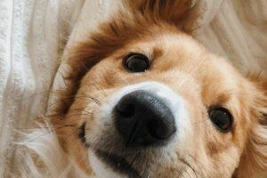 Hund kalte Nase: Hunde liegt mit Schnauze nach oben im Bett