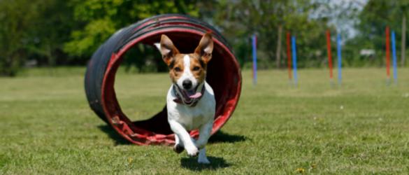 Hund humpelt: Kleiner Hund auf dem Trainingsplatz