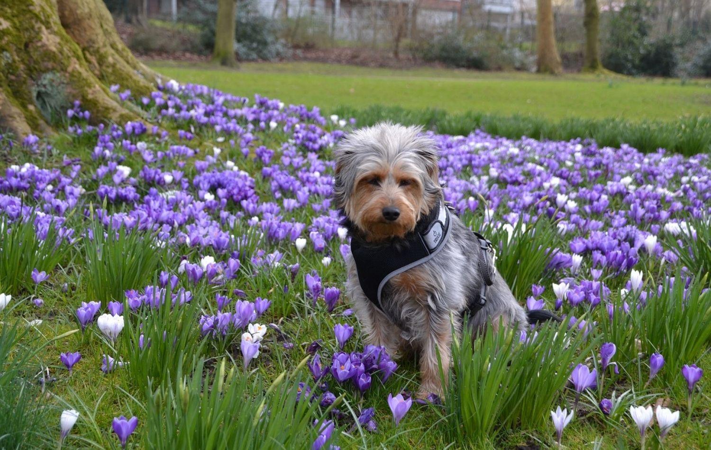 Hund im Krokus Feld