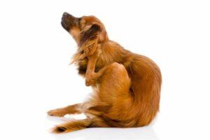 Hund kratzt sich am Kopf