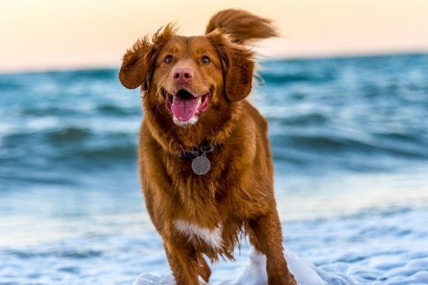 Hund läuft am Meer
