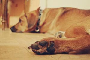 hund-liegt-wohnung-boden