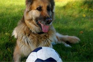 Schäferhund mit Ball auf dem Rasen