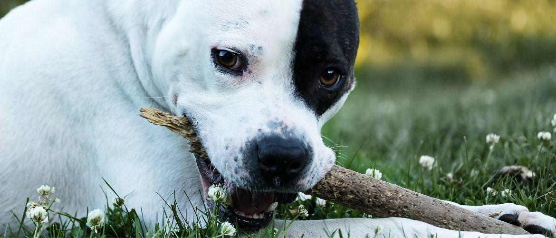 Sicherer Hundekauf: Hund mit Stock im Mund
