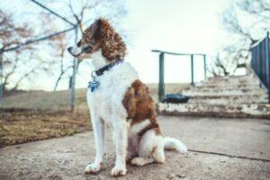 Hund Sitz beibringen: Hund macht Sitz vor einer kleinen Brücke für Fußgänger