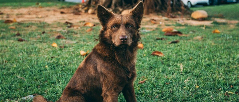 Hund Sitz beibringen: Brauner Hund sitzt auf einer grünen Rasenfläche