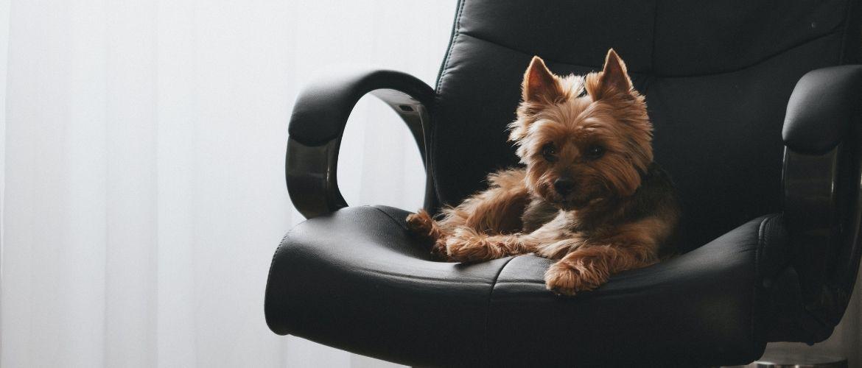 Hund sitzt auf einem schwarzen Bürostuhl
