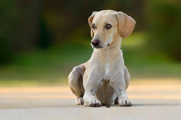 Hund trächtig