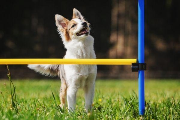 Hund vor Parcoursstange