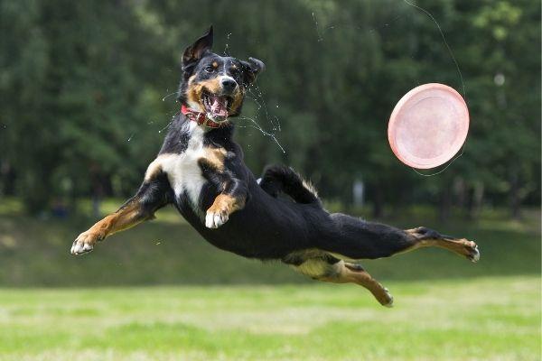 Hunde Frisbee im Park