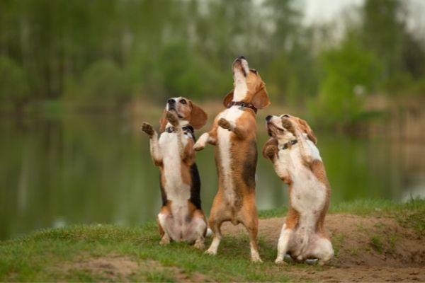 Drei Hunde machen Männchen