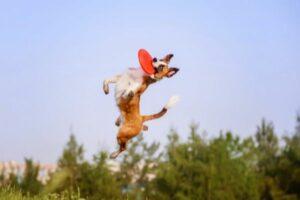 Hund mit Frisbee im Sprung