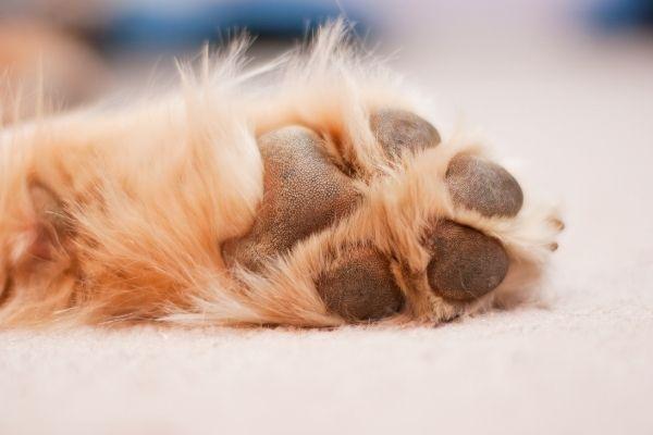 Hunde Pfote auf einem beigen Teppich