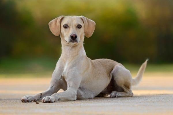Hunde trächtig: Hündin im Liegen von der Seite
