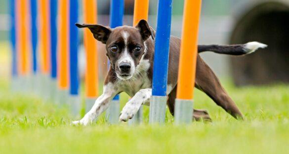 Hund beim Hundesport