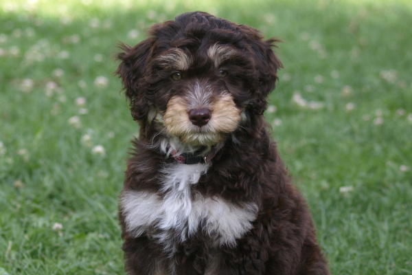 Hybridhunde-Rassen: Aussiedoodle
