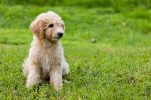 Hybridhunde Rassen: Goldendoodle