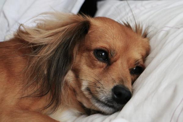 Inkontinenz beim Hund: Hund liegt im Bett