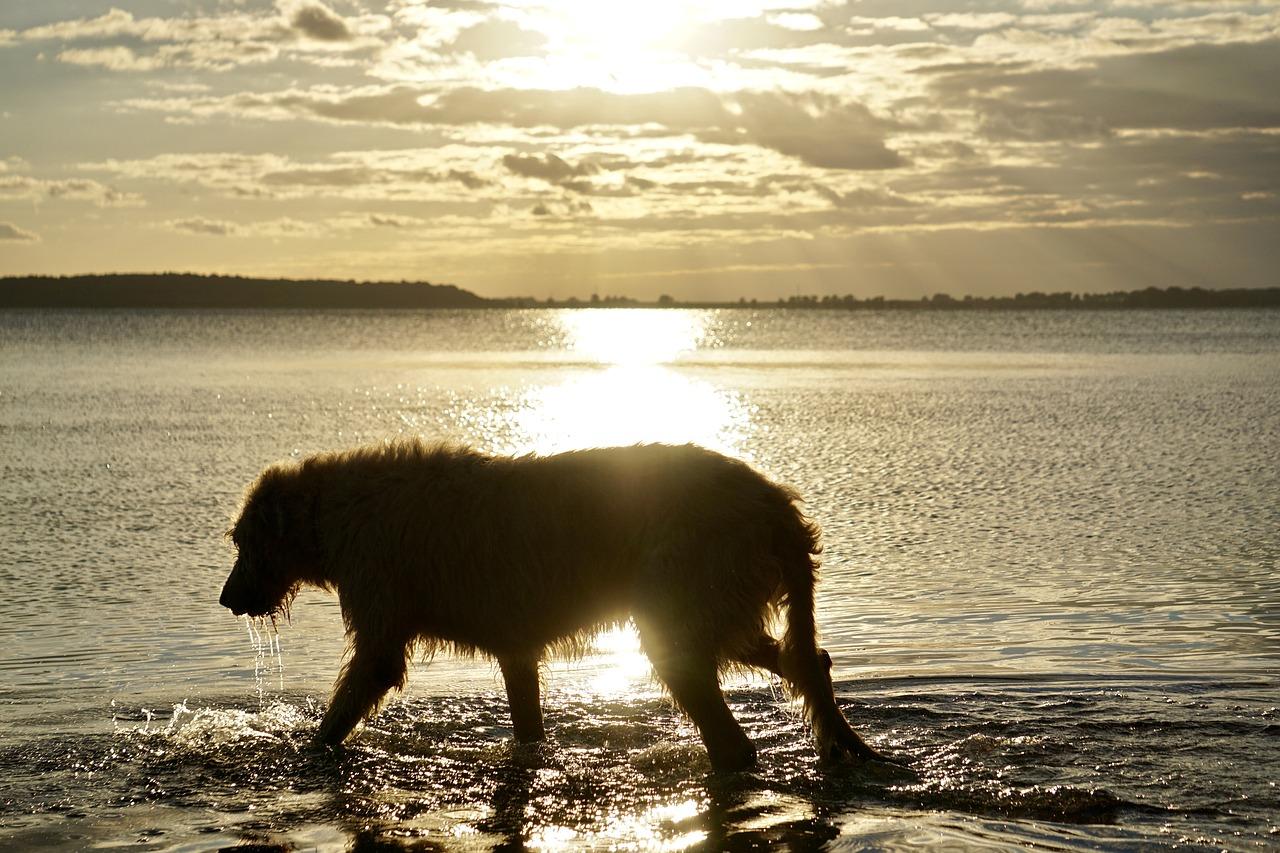 Irish Wolfhound Irischer Wolfshund