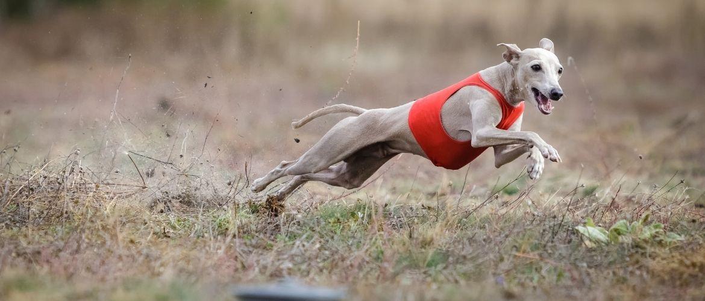 Italienisches Windspiel beim Hundesport