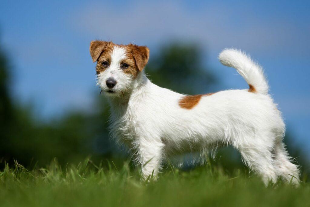 Jack Russell Terrier auf der Wiese