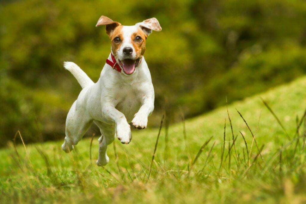 Jack Russell Terrier rennt über Wiese