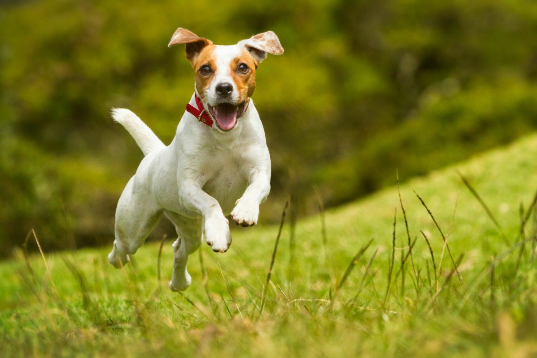 Jack Russell Terrier stecken voller Energie