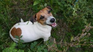 Jack Russell Terrier im Wald
