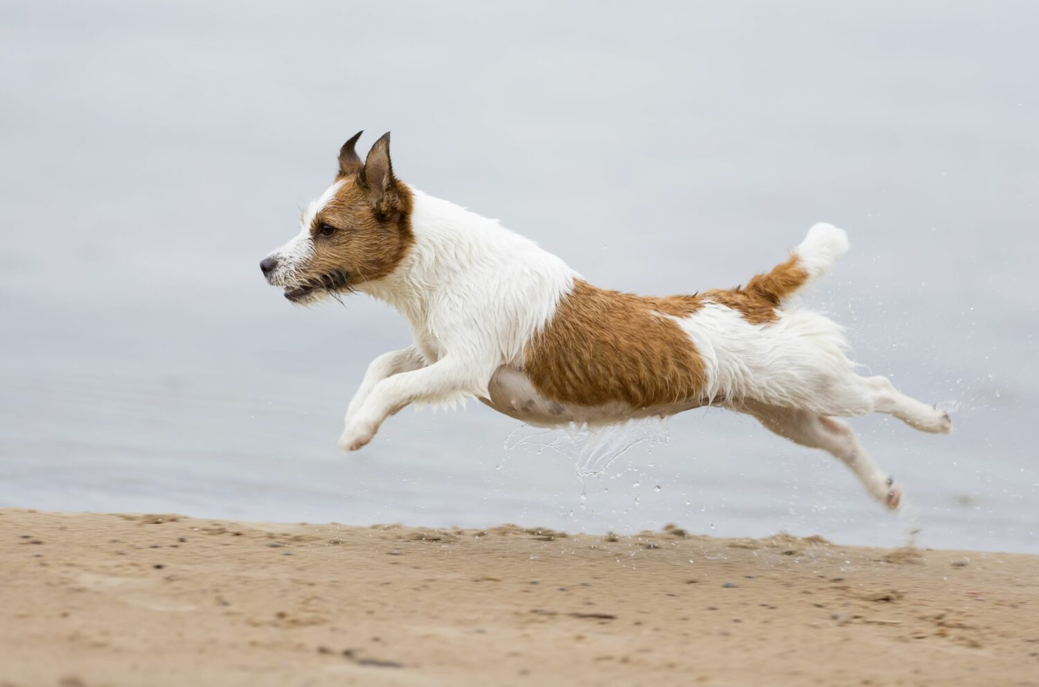 Jack Russell Terrier am Strand