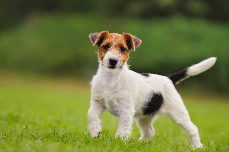 Jack Russell Terrier auf einer Wiese