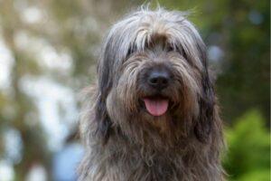 Katalanischer Schäferhund im Portrait