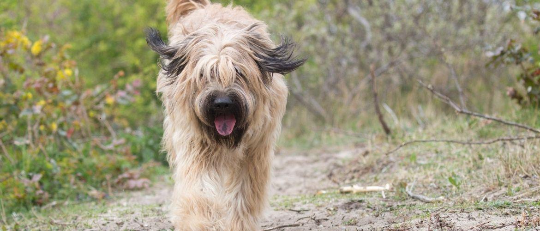 Katalanischer Schäferhund von vorne