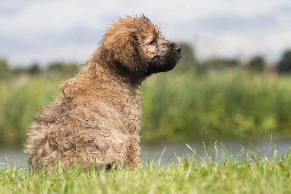 Katalanischer Schäferhund Welpe