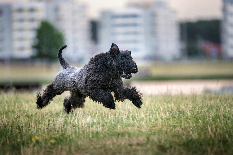 Bewegung und Beschäftigung sind für den Kerry Blue Terrier entscheidend