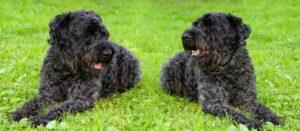 Bei der Erziehung des Terriers sind Konsequenz und Geduld nötig