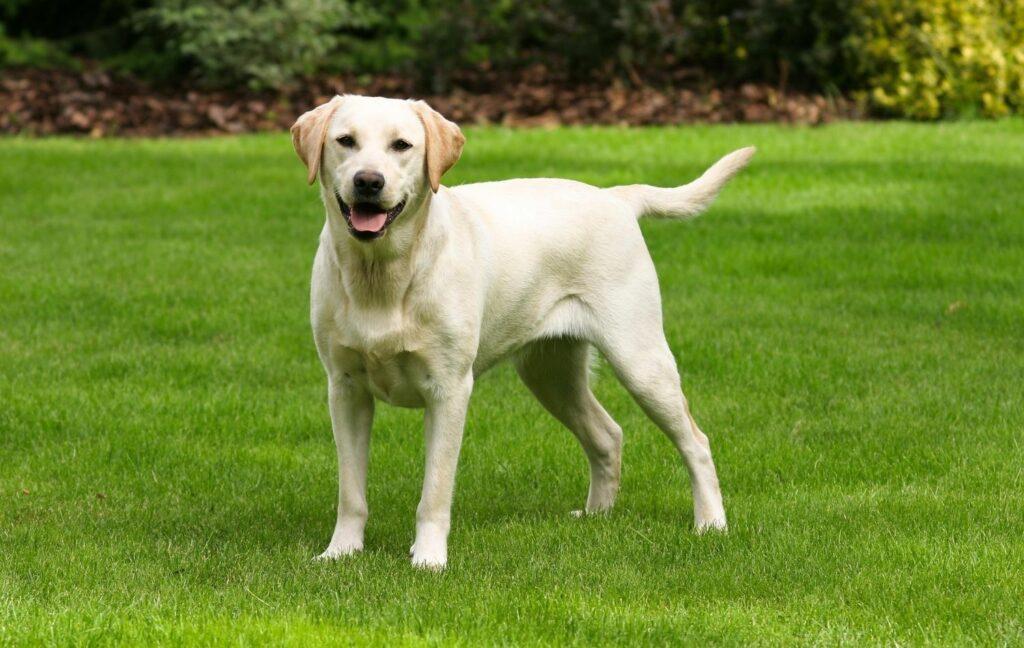 Labrador Retriever auf Wiese