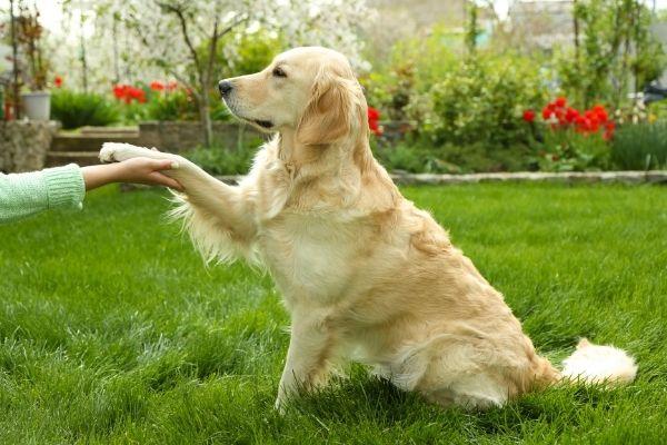 Hund hebt Pfote: Labrador Retriever mit einem Menschen
