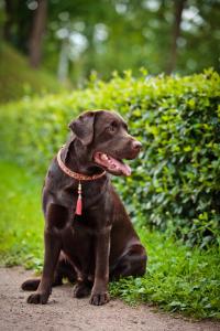 Labrador Retriever im Sitzen
