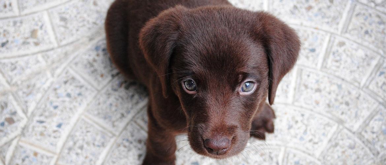 Süße Hunderassen: Retriever Welpe