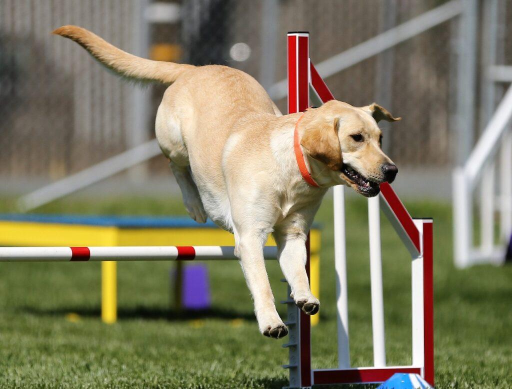 Labrador Retriever beim Hundesport