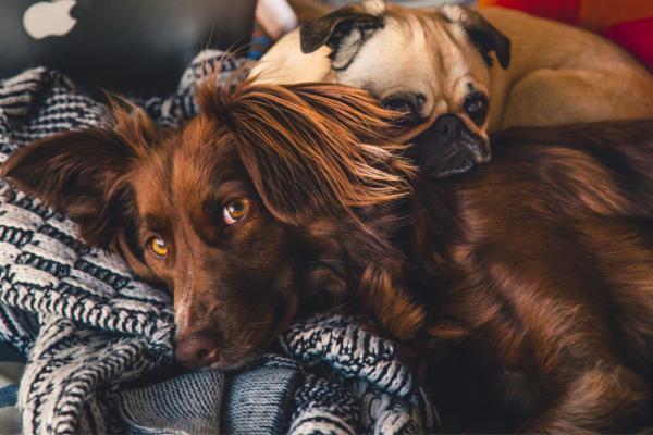 Läufigkeit der Hündin: Hunde liegen und schlafen