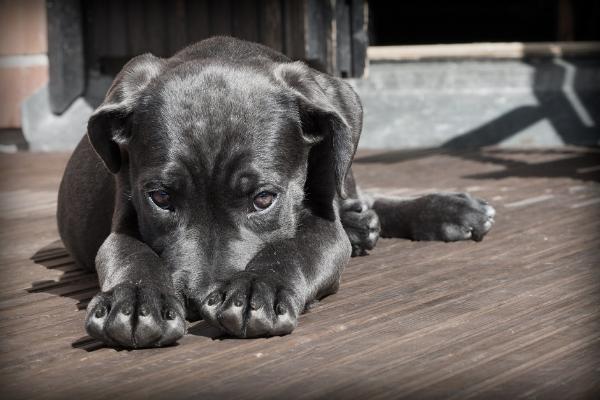 Läufigkeit Hündin: Hund liegt und guck traurig