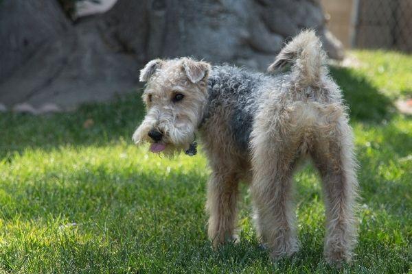Lakeland Terrier auf dem Rasen