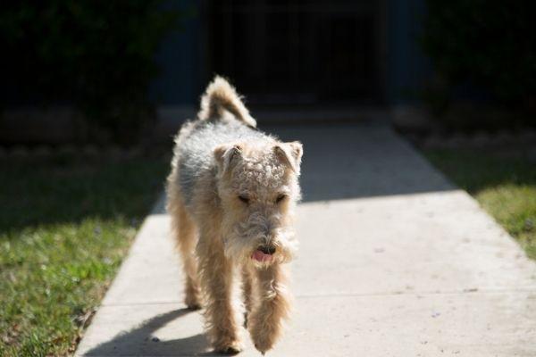 Lakeland Terrier im Lauf