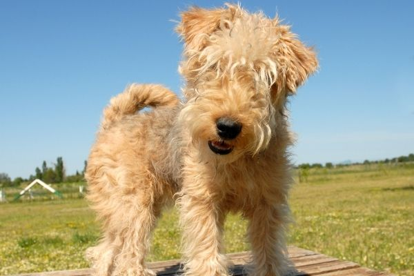 Lakeland Terrier Welpe