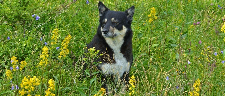 Lappländischer Rentierhund in der Natur