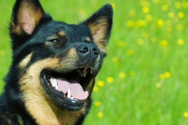 Lappländischer Rentierhund Kopf