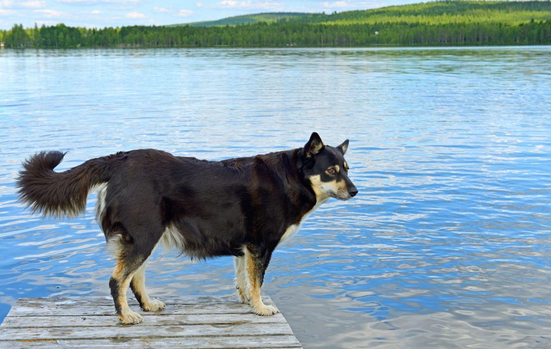Lappländischer Rentierhund von der Seite
