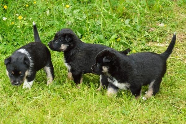 Lappländischer Rentierhund Welpen