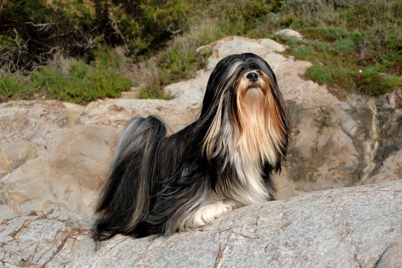Der Lhasa Apso ist für sein langes, glattes Fell bekannt